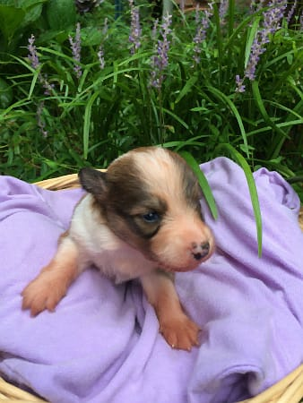 Sunshine Farm's Old Time Scotch Collie 2018 puppy Gretl at 11 days old, front view