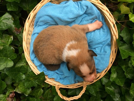 Sunshine Farm's Old Time Scotch Collie 2018 puppy Kurt at 11 days old, top view